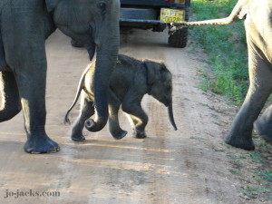 baby elephant in Sri Laanka
