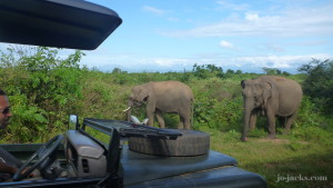 A tusker we saw on safari in Udawalawe